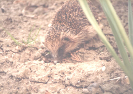Henrietta Hedgehog, late 1980s, in Whaplode Drove, Lincolnshire, England